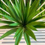 agava (8)