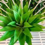 agava (9)