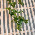 visece-zelenilo